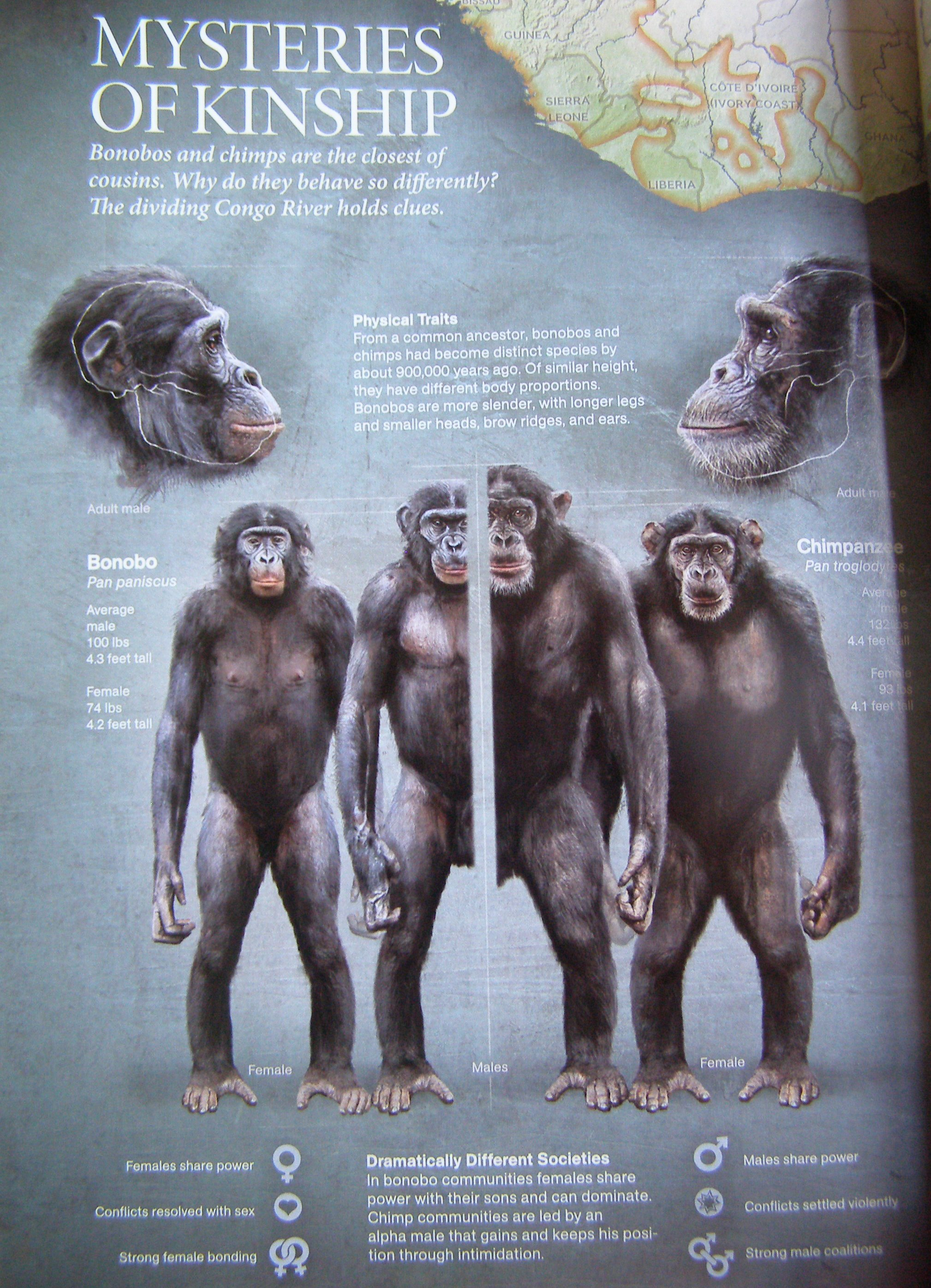 the perspective of sharing a common ancestor between the chimpanzee and the humans